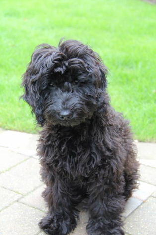 Puppy through to adult - Cockapoo Owners Club UK