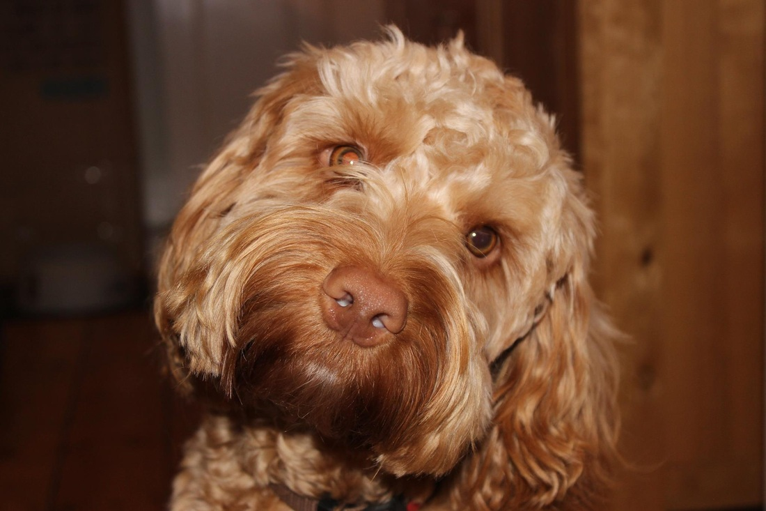 Coat Colour Gallery Cockapoo Owners Club Uk