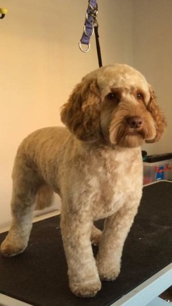 Cockapoo Grooming Cockapoo Owners Club Uk
